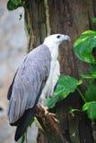 aigle de mer Blanc-gonflé image libre de droits
