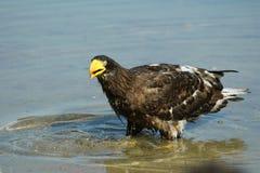 Aigle de mer de Steller dans l'étang Photo libre de droits