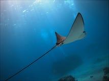 Aigle de mer repéré Photographie stock libre de droits