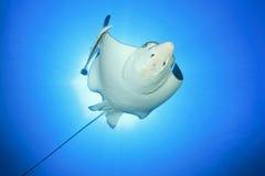 Aigle de mer Repéré images stock