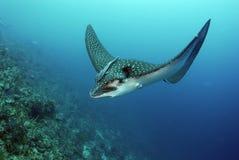 aigle de mer repéré photos stock