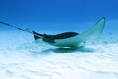 Aigle de mer Repéré photographie stock