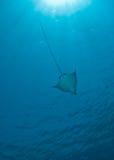 Aigle de mer repéré (narinari d'Aetobatis) Photographie stock libre de droits