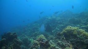 Aigle de mer sur un récif coralien banque de vidéos