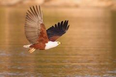 Aigle de poissons africain Photographie stock libre de droits