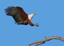 Aigle de poissons africain Images libres de droits