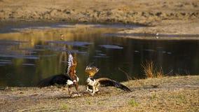 Aigle de poissons africain en parc national de Kruger Images libres de droits