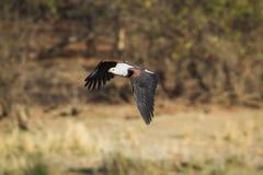 Aigle de poissons africain en parc national de Kruger, volant au-dessus de la savane Images libres de droits