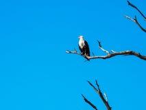 Aigle de poissons africain se tenant sur la branche d'arbre sèche avec le ciel bleu image libre de droits
