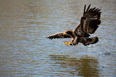 Aigle de poissons swooping au-dessus de la proie Images libres de droits