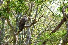 Aigle de Serpant Image stock