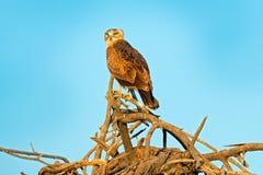 Aigle de serpent de Brown, cinereus de Circaetus, oiseau avec le plumage gris Eagle se reposant sur le dessus de l'arbre, ciel bl photographie stock libre de droits