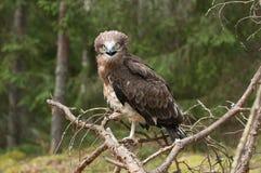 Aigle de serpent Court-botté avec la pointe du pied par adulte sur les branches impeccables Photos stock