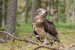 Aigle de serpent Court-botté avec la pointe du pied par adulte sur les branches impeccables Photo libre de droits
