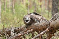 Aigle de serpent Court-botté avec la pointe du pied par adulte sur les branches impeccables Image stock
