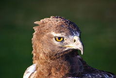 Aigle de serpent de Brown Photographie stock libre de droits