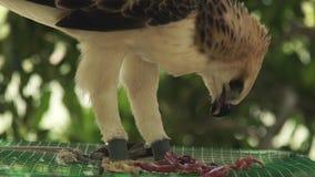 Aigle de serpent mangeant de la viande fraîche se reposant sur le dessus de cage Fin vers le haut d'oiseau de faucon de proie de  banque de vidéos