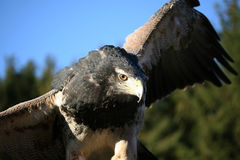 Aigle de steppe Images stock