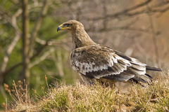 Aigle de steppe (nipalensis d'Aquila) Image libre de droits