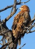 Aigle de Tawney Photo libre de droits