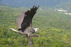 Aigle de vol Images libres de droits