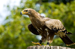 Aigle en pierre Photo libre de droits