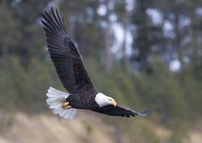 Aigle en vol. Image stock