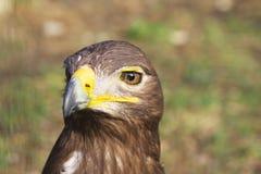 Aigle fauve Photos stock