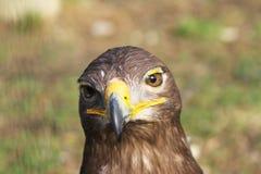 Aigle fauve Images stock