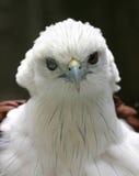 Aigle hérissé Photos libres de droits
