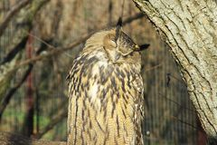 Aigle-hibou eurasien. Photographie stock