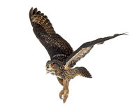 Aigle-Hibou eurasien, bubo de Bubo, 15 années Photographie stock