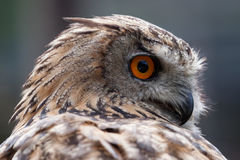 Aigle-hibou eurasien (bubo de Bubo) image libre de droits