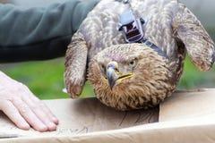 Aigle impérial à disposition Photographie stock