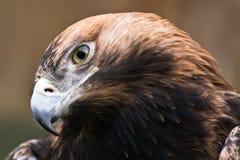 Aigle impérial oriental Image libre de droits