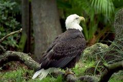 Aigle majestueux Photos libres de droits