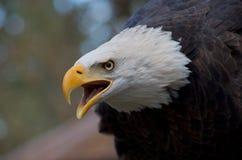 Aigle majestueux appelant avec le bec ouvert et l'expression intense dans ses yeux images libres de droits