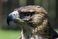 aigle martial Photo stock