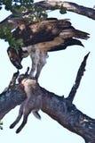 Aigle martial photos stock