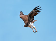 Aigle martial image libre de droits