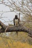 Aigle martial photographie stock libre de droits