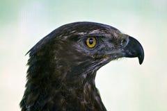aigle noir Photos stock
