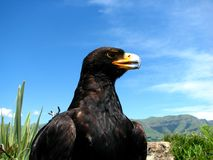 Aigle noir Photo stock