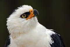 Aigle noir et blanc Photographie stock