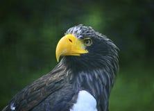 Aigle oriental Photographie stock libre de droits