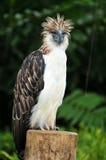 Aigle philippin Photo stock