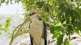 Aigle prédateur de serpent d'oiseau regardant dans l'appareil-photo sur la branche d'arbre et le paysage vert de feuillage Fermez banque de vidéos