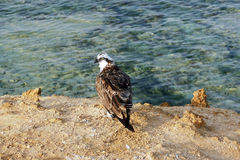 Aigle principal blanc de lac image libre de droits