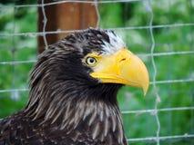 Aigle puissant Image libre de droits