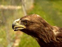 Aigle réel Photographie stock libre de droits